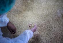 Photo de On envisage d'utiliser des balles de riz chez Seat pour fabriquer certaines pièces